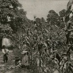 Francis Marion Foy observes the growth of his cornfield at Scotts Hill while children, black and white, look on. c.1880s