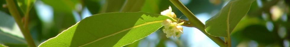 green laurel_featured
