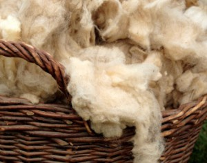 Newly Sheared Wool