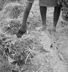 planting sweet potatoes_lofc