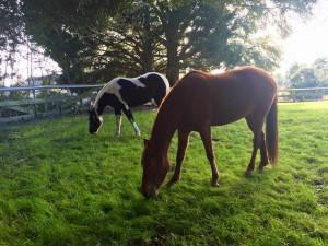 horses grass