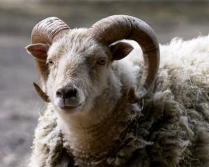 AlanCradick_Animal Sanctuary_Ram