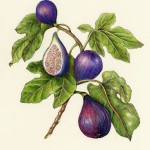 Fig-Ficus+carica